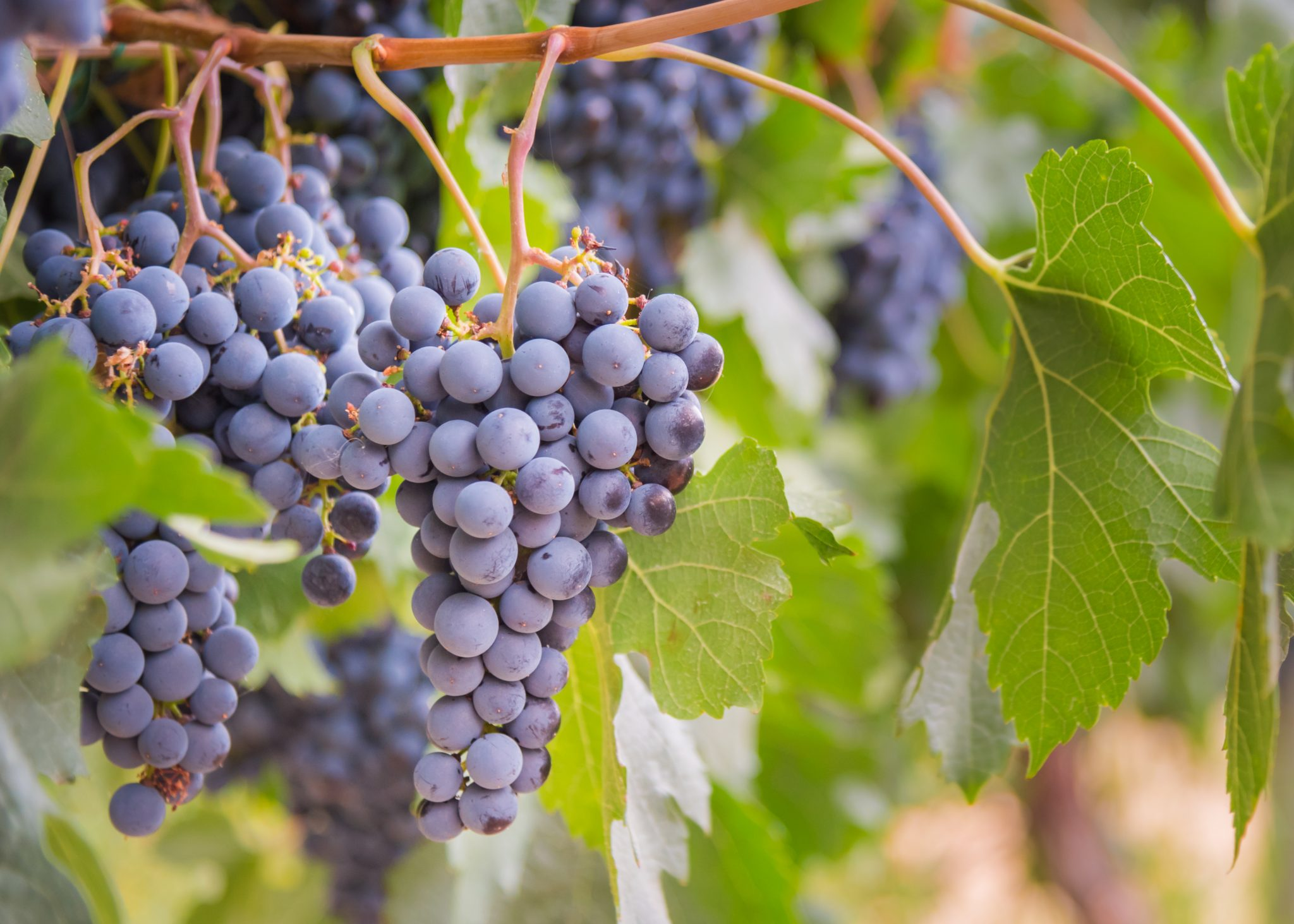 Wine Grapes | Sirocco Consulting - Consumer Research